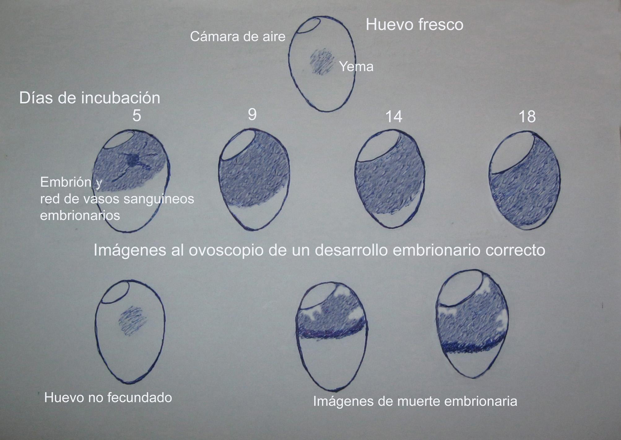 Huevo Incub II